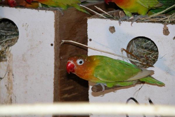Период гнездования попугаев