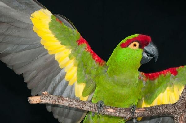 Общий вид каролинского попугая