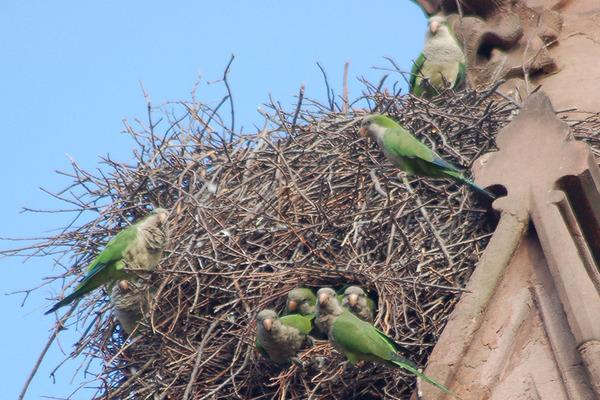 Попугаи монахи строят большие гнезда