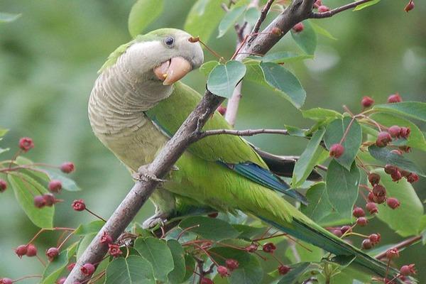 Попугай калита любит фрукты