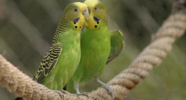 Пара попугаев немного разговаривает