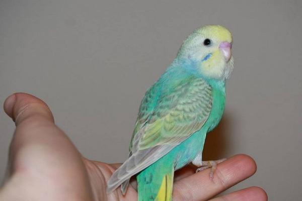 Приступаем к обучению попугая простым словам