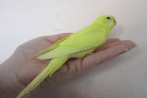 Молоденький попугайчик внимательно слушает человеческую речь