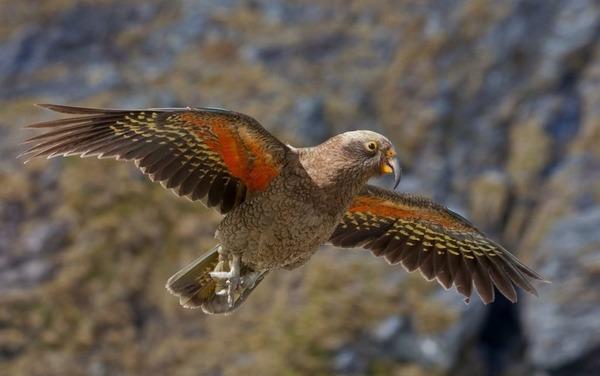 Горный попугай кеа в полете