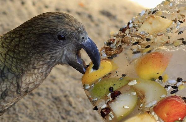 Рацион питания попугаев кеа разнообразый