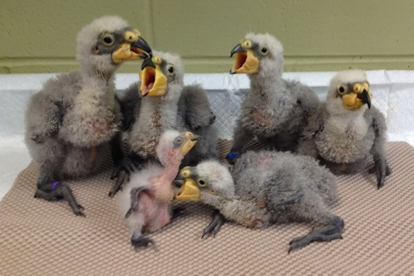 Птенцы попугая кеа