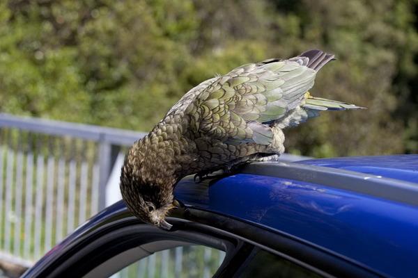 Кеа идет на контакт с человеком, но это хищная птица