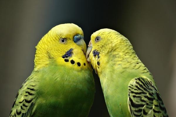 Попугаи видят намного лучше людей
