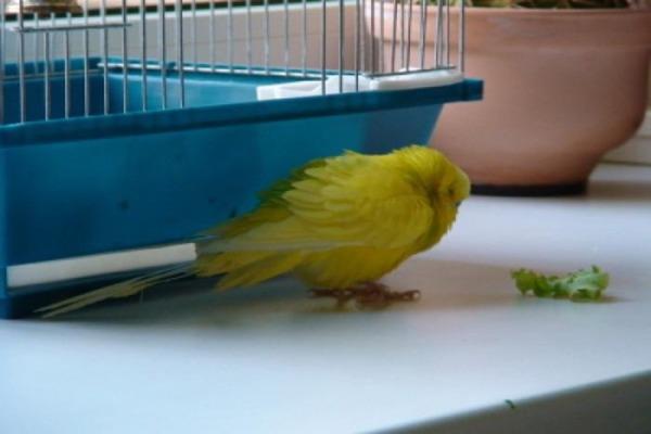 Такое поведение попугая должно насторожить хозяина