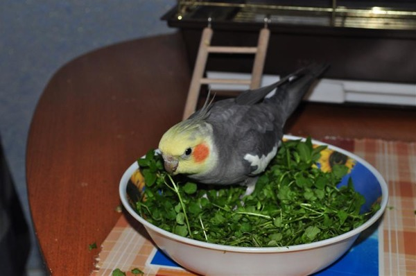 Зелень - важный компонент рациона экзотических птиц
