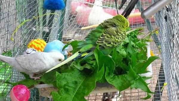 Полезная зелень для попугая