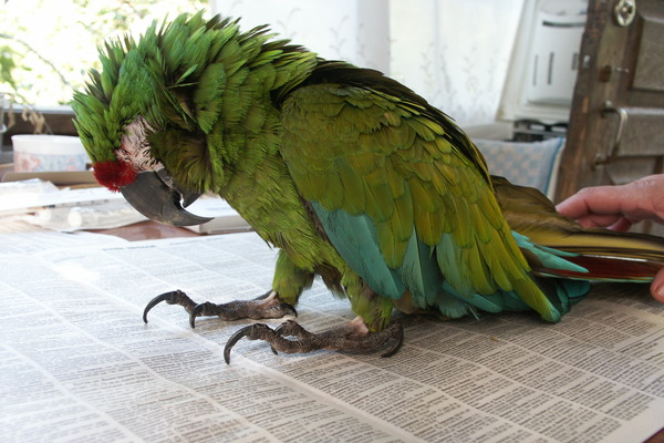 Попугай отравился пищей