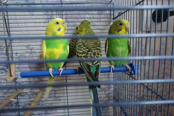 Питомник - лучшее место покупки попугая