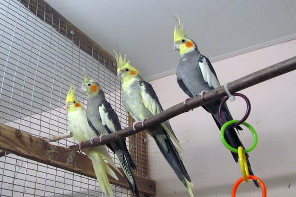 Адаптация попугаев на новом месте