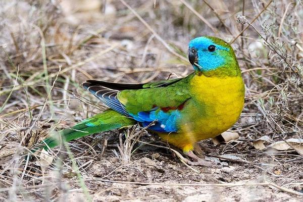 Травянистый попугай