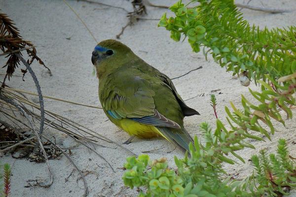 Вид травяного попугая - лазурный
