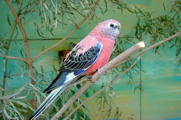 Вид - розовобрюхий пернатый попугай