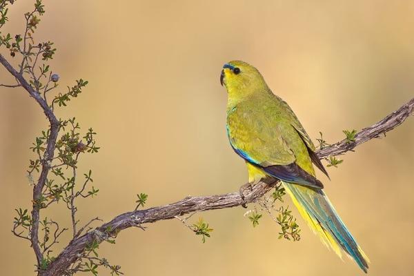 Элегантный попугай