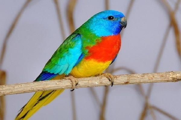Глянцевый попугай