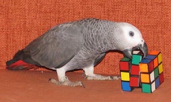 Попугай складывает кубик