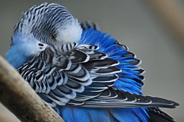 Спящий попугай