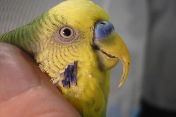 Роль клюва в жизни попугая