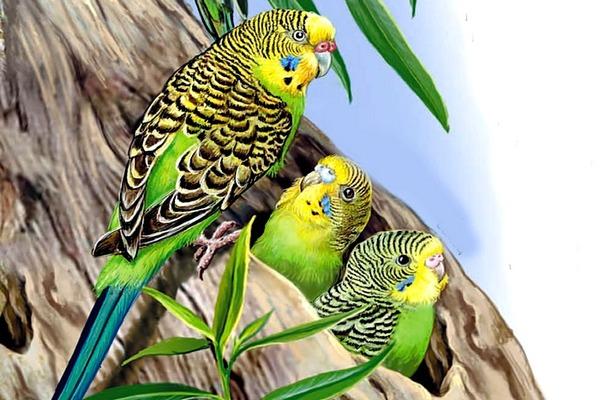 Австралийские попугаи