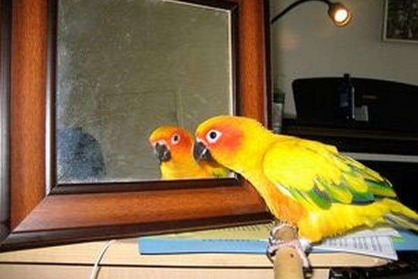 Зеркало - предмет жилища попугая
