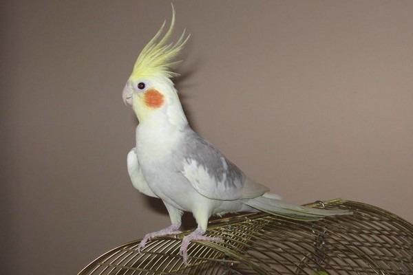 Приобретение попугая кореллы