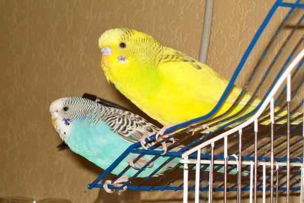 Попугаи вылетели с клетки