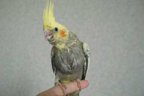 Попугай умеет скрывать свое недомогание
