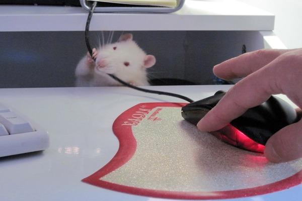 Все, что видит крыса, то грызет