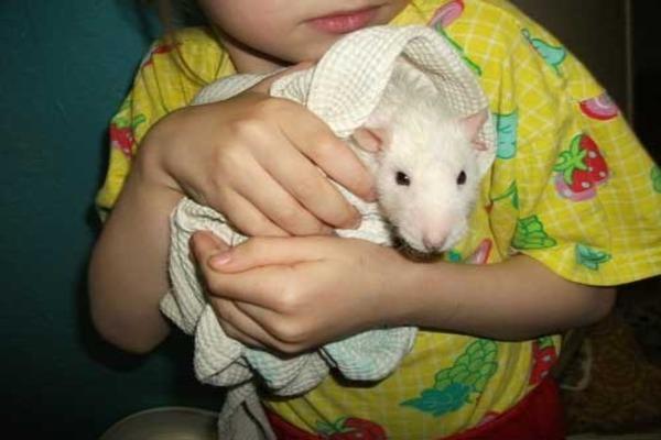 Мягкое полотенце для обсушивания крысы после купания