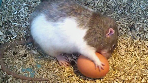 Грызун пытается прогрызть яйцо
