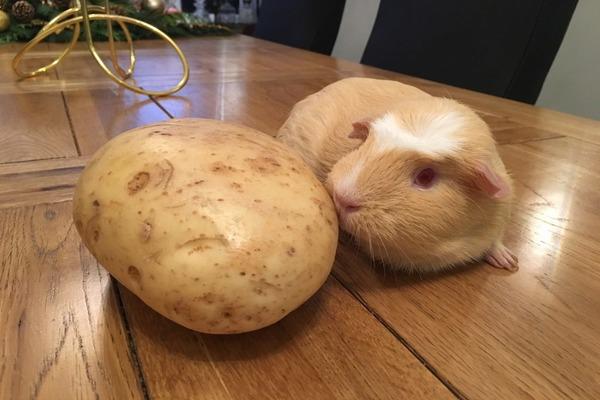 Изучаем влияние овоща на организм грызуна