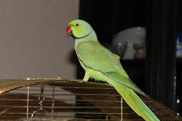 Барнардовый попугай
