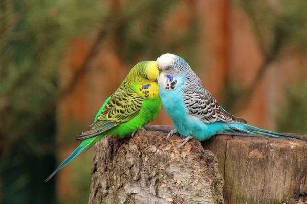Миниатюрная порода попугаев