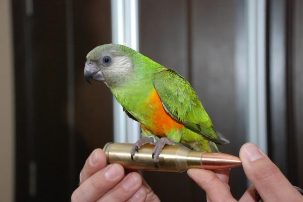 Попугай среднего размера