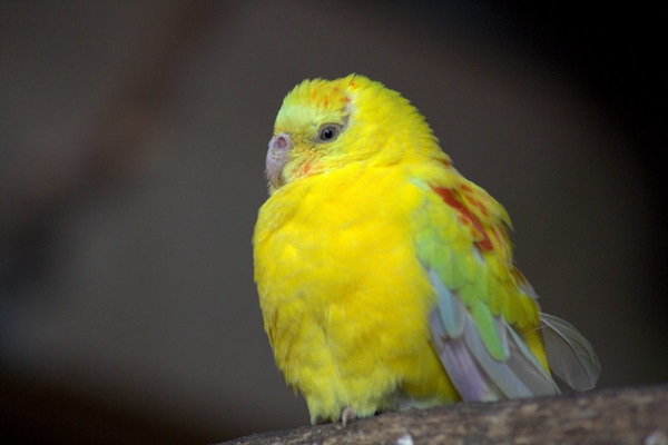 Попугайчик лютино