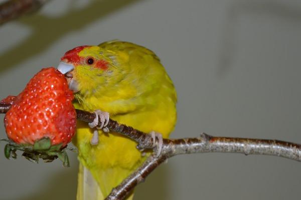 Попугайчик кушает клубнику