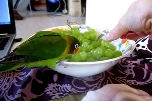Попугайчик пробует виноград