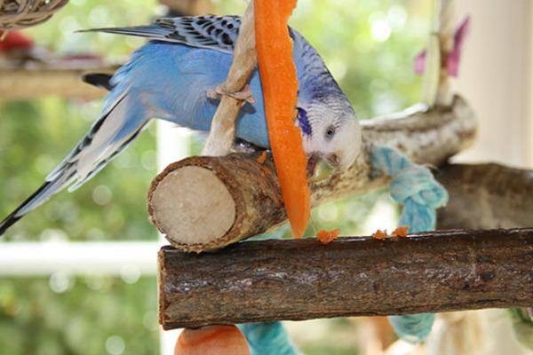 Морковь - необходимый овощ в пище попугая