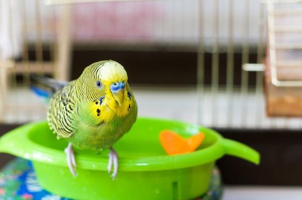 Попугай изучает новый продукт питания