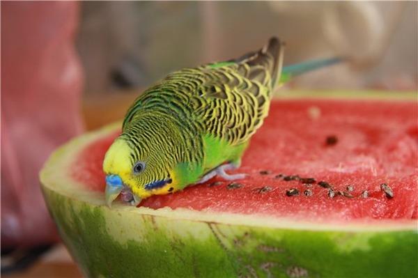 Попугай кушает арбуз