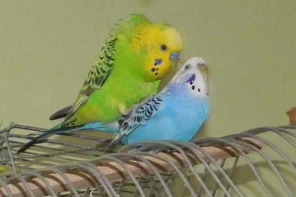Попугаи готовы к спариванию