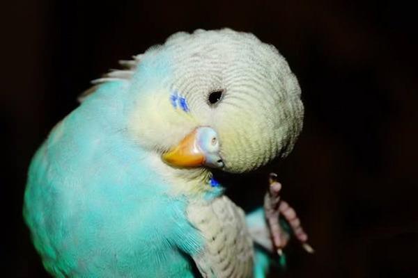 Попугай постоянно теребит перья