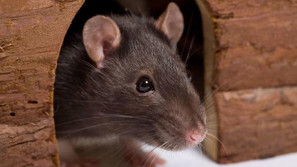 Крыса в домике
