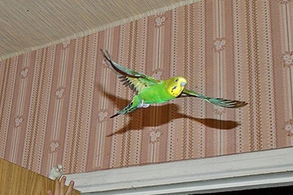 Попугайчик летает по комнате