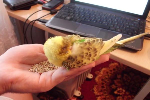 Попугайчик уснул прямо в руке хозяина