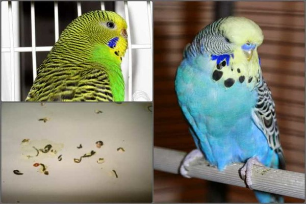 Нарушение координации движений птиц